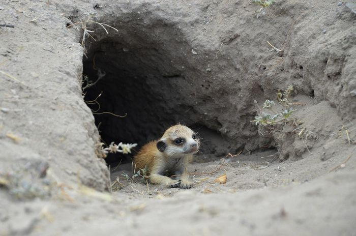 Baby Meerkat Meerkats Baby Meerkat Baby Animals Wildlife & Nature Wildlife Photography Desert Travel Travel Destinations Travel Photography Africa African Animals Botswana One Animal Day Nature Close-up