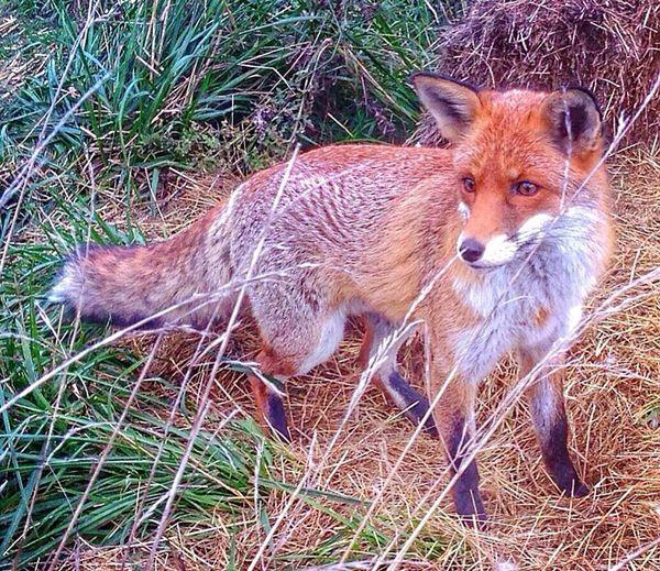 Fox Grass Mammal Animal Themes Fox Animals In The Wild Animal Wildlife Nature Close-up Exotic