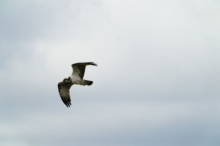 Animal Animal Themes Animal Wildlife Animals In The Wild Beauty In Nature Bird Day Flying Full Length Low Angle View Mid-air Motion Nature No People One Animal Outdoors Seagull Sky Spread Wings Vertebrate Water