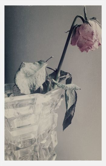 "StillLifePhotography AMPt - ""Still Life"" (Nature Morte) Pink Rose Flowerporn"