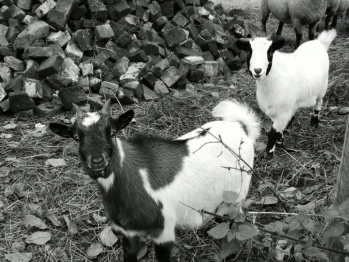 Animals Animal Animal_collection Outdoors Domestic Animals Goatfarm Goat Goat Life Goats On The Farm Goatsarecool Goats Goats Life