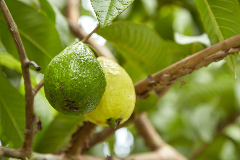 Close-up of guavas growing on tree