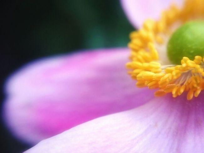 Pink Macro EyeEmNewHere 秋明菊 Flower Head Flower Pink Color Yellow Close-up Purple