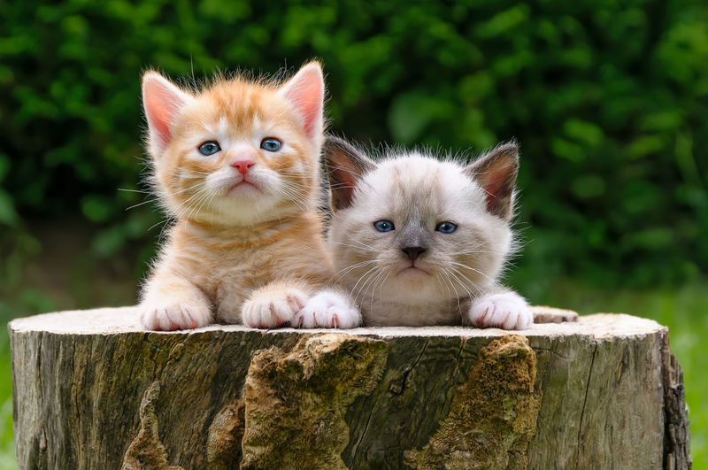 Two cute baby kittens side by side in a hollowed tree log Friends Funny Kittens Animal Themes Baby Animals Babycats Cat Cat Friends Cats Cute Cats Domestic Cat Faces Feline Friendship Heads Kitten Little Cat Tiger Looking At Camera Outdoors Pets Portrait Togetherness Two Whisker Pet Portraits