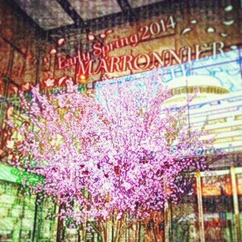 マロニエの桜 偽物だけど華やぎますね(^^)  桜 Flowers  東京  銀座 tokyo