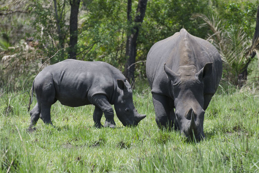 Mother rhino with her child Uganda  White Rhinoceros Africa Animal Themes Animal Wildlife Animals In The Wild Day Grass Mammal Nature No People Outdoors Rhinoceros Safari Animals Tree White Rhino Wildlife Young Animal