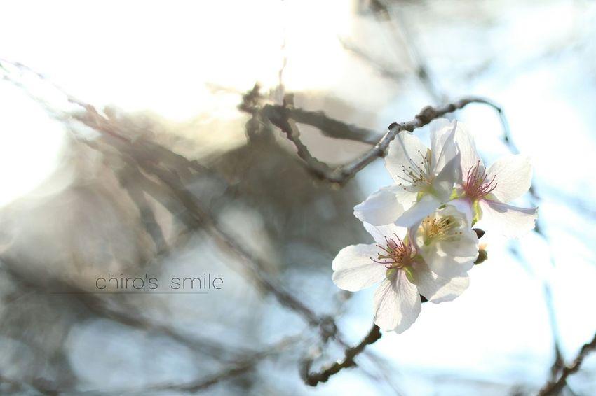 10月桜 Flower Flowers_collection Neture Japan EyeEm Nature Lover