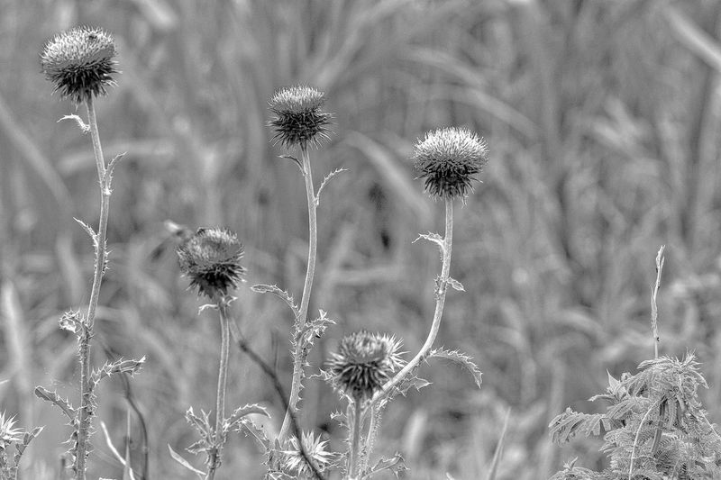 Thistles in Bloom black and white friday EyeEm Selects Plant No People Nature Flower Close-up Flowering Plant Vulnerability  Fragility Full Frame Day Backgrounds Pattern Growth Outdoors Beauty In Nature Focus On Foreground Freshness Flower Head