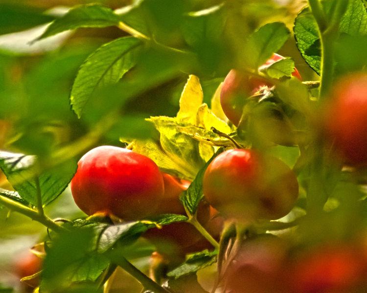 Crab apple Bud Close-up Crab Apple Crab Apple Tree Food Freshness Fruit Growing Growth Healthy Eating Leaf Organic Red Ripe Stem