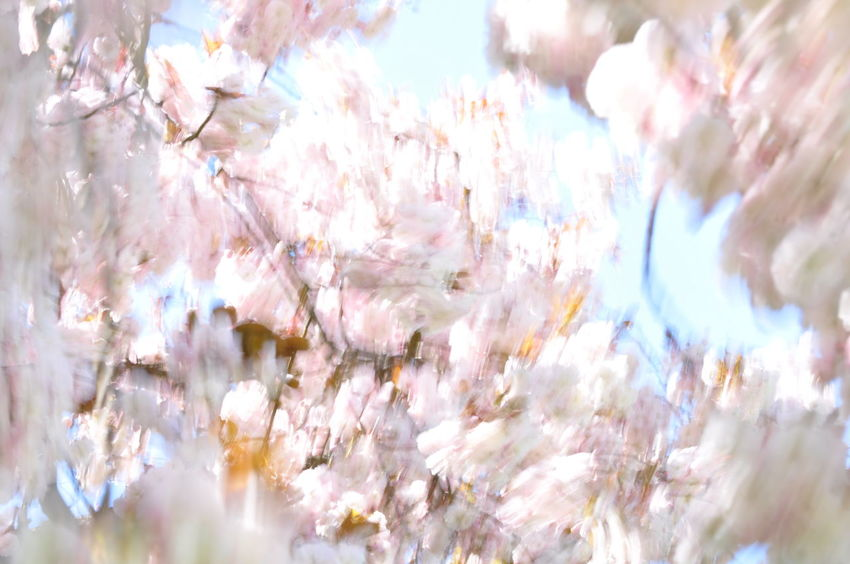 Cherry Blossoms Motion Blur Wind Blown Backgrounds Cherry Tree Moved By Wind Prunus Serrulata Shirofugen Sakura Blossom Wind