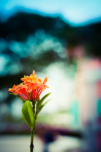 The Ixora plant Beauty In Nature Blooming Botany Bud Close-up Fine Art Photography Flower Flower Head Focus On Foreground Fragility Freshness Growing Growth In Bloom Ixora Leaf Nature Orange Color Outdoors Petal Plant Selective Focus Stem Tranquility Colour Of Life