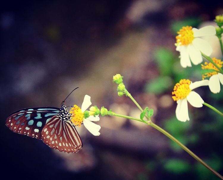 Nature Insects  Butterflies Butterfly Nature Photography Nature HongKong ASIA Wildlife Wildlife & Nature Closeup Daisy Flowers