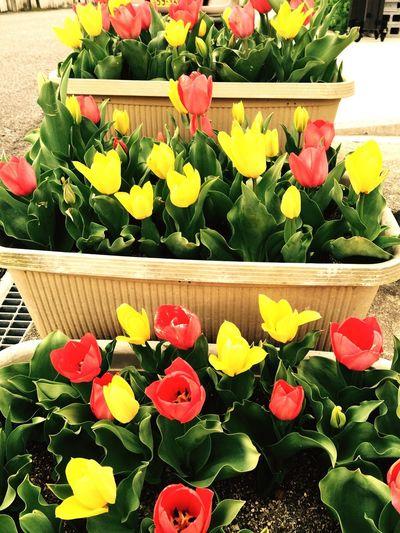 Flowers Spring Tulips Japan Tulips🌷 Fiore Carina!