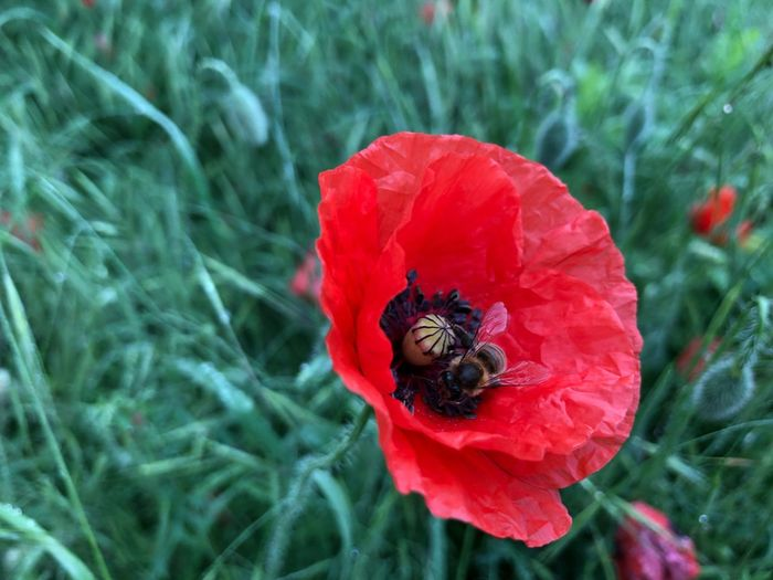 Close-up of bee pollinating on red flower
