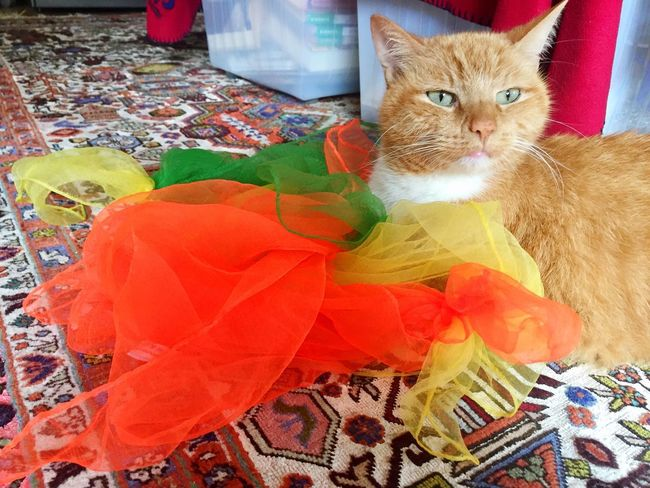TIP enjoys this 😇💛♥️💖 I Love It ❤ I Love My Cat I Love Cats I Love Colour Cat Lifestyle Colour Therapy Creative Photography Pet Photography  Creative Power Cat Collection Silkscarves 3XPSUnity Ginger Cat