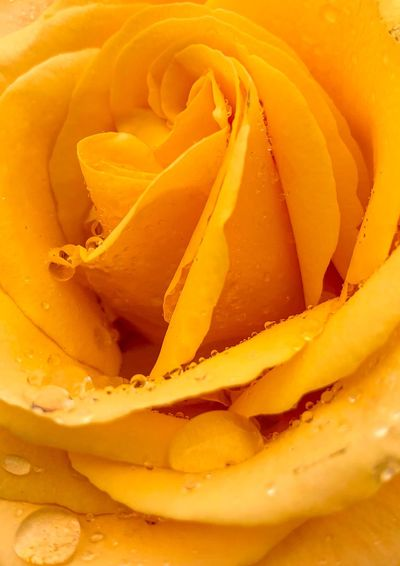 Water Drop Rose