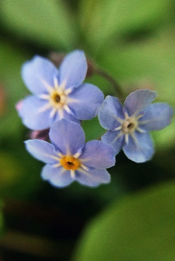 good things in tiny packages! ~ Forget Me Not Garden Flowers Color Of Life Blue Freshness Loving The Landscape Flower Lovers Beauty In Nature Happiness No People Portland Maine Love My City Tranquility Nature Lover Tiny Macro Home Garden Green Gardenlover Flower Head Flower Petal Springtime Close-up Plant In Bloom Plant Life