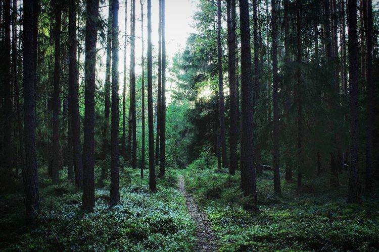 Finland Photography Nature Naturelover Nature Enthusiast Nature Photography Forest Trees Pinetrees