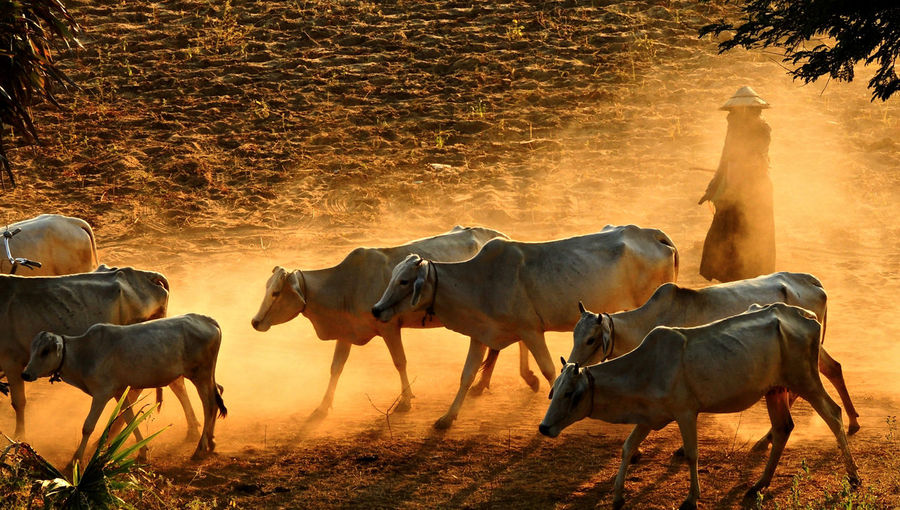 Person walking with cows on field during sunset