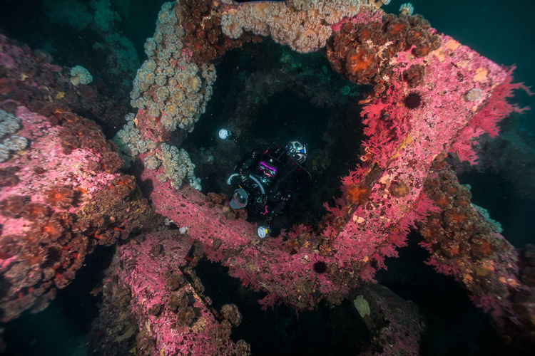 Scuba diver by pink coral