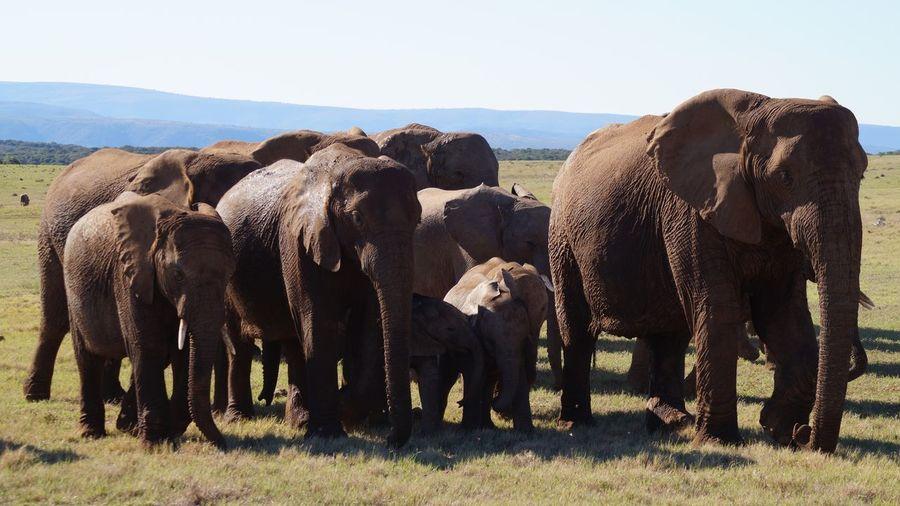Elephants standing on landscape