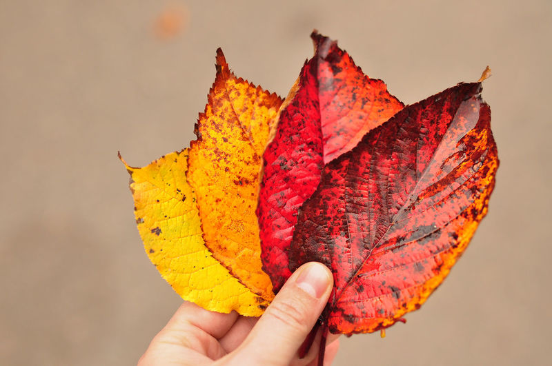 Gradient of autumn leaves from red to yellow in hand against blurry autum. enjoying nature