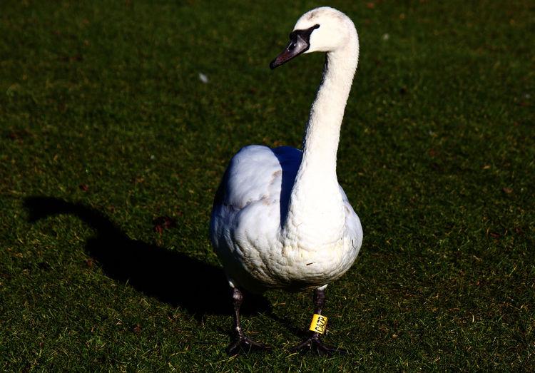 Swan on a field