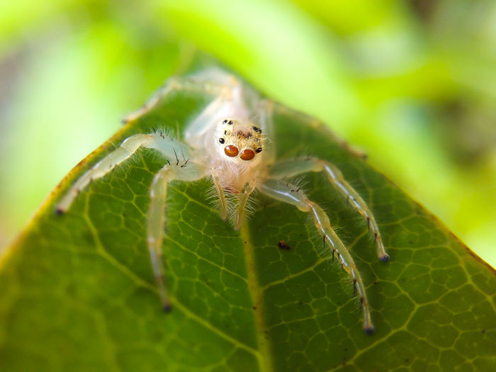 Spider Macro Jumping Spider Tree Animals In The Wild One Animal Animal Leg Outdoors No People Leaf Nature Green Color Nature Beauty In Nature Mobilephotography Perspectives On Nature
