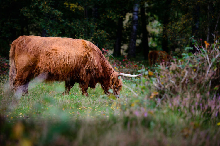 Highland Cattle, Nature, Animals Animal Themes Brown Cow Day Domestic Animals Field Grass Grazing Highland Cattle Livestock Mammal Nature No People One Animal Outdoors Plant Standing Tree