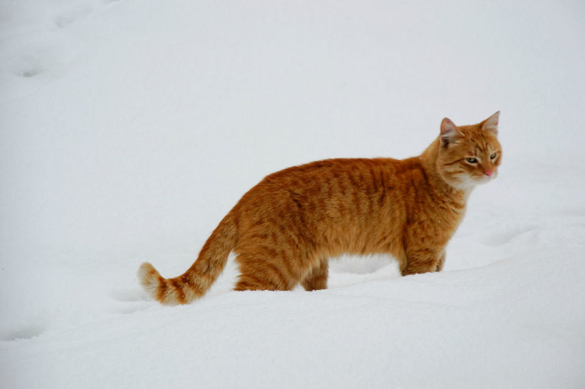 Animal Themes Cat Lovers Close-up Cold Temperature Day Domestic Animals Domestic Cat Eye Em Nature Lover Nature No People One Animal Outdoors Pets Snow Tomcat Tomcat In Snow Winter Yelow Cat