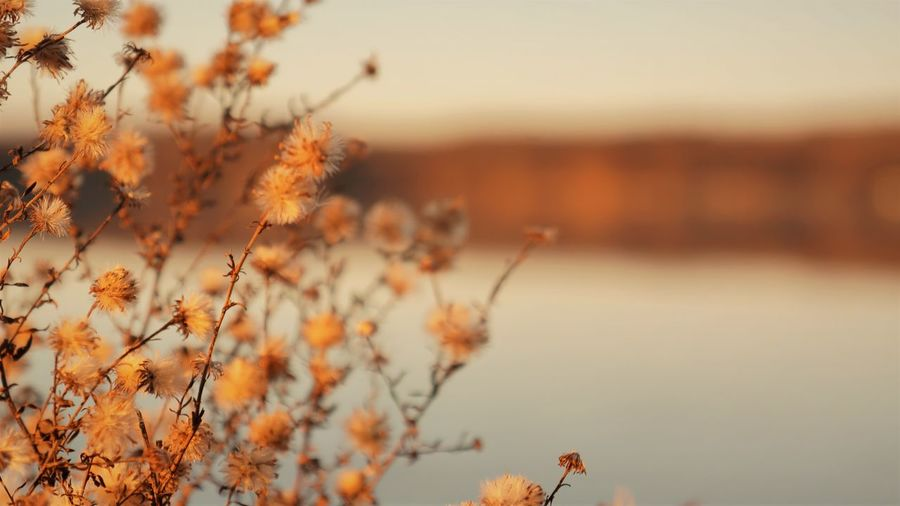 Autumn Fluff Minimalism Copy Space Lake Life Plant Beauty In Nature Nature Growth Focus On Foreground Fragility Tranquility Flowering Plant Close-up Sunset Selective Focus Vulnerability  No People Flower Orange Color Sky Day Outdoors Freshness Field Change Yellow Dry Flower  Fluffy Autumn