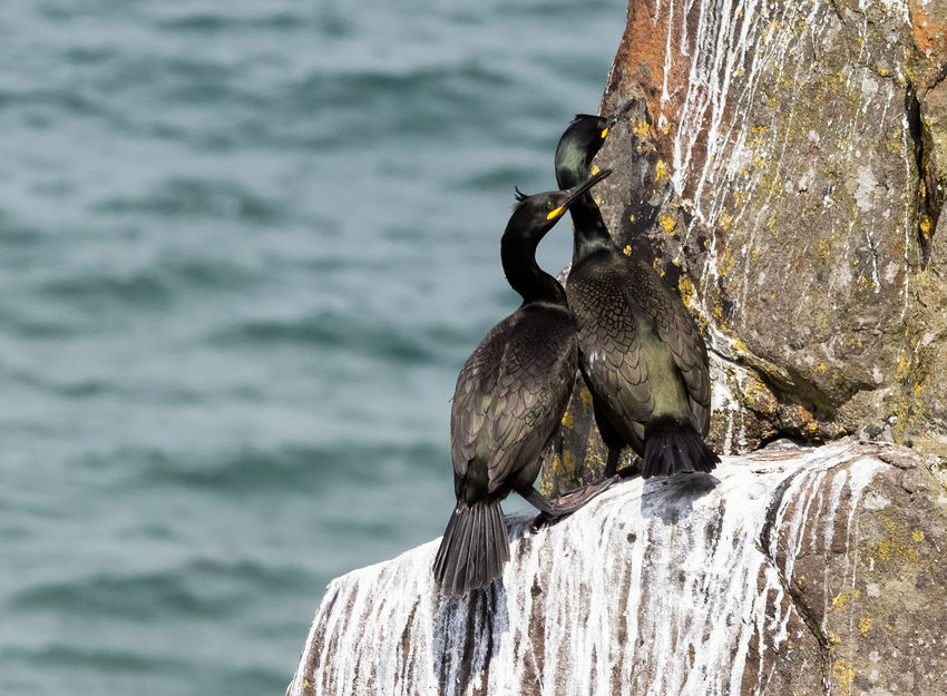 Birds of the Northumberland Coast UK - Pair of Shags Shags Animal Animal Family Animal Themes Animal Wildlife Animals In The Wild Bird Cliffs And Sea Close-up Day Focus On Foreground Group Of Animals Nature No People Outdoors Perching Rock Sea Seabirds Two Animals Vertebrate Water The Great Outdoors - 2018 EyeEm Awards Shags Animal Animal Family Animal Themes Animal Wildlife Animals In The Wild Bird Cliffs And Sea Close-up Day Focus On Foreground Group Of Animals Nature No People Outdoors Perching Rock Sea Seabirds Two Animals Vertebrate Water The Great Outdoors - 2018 EyeEm Awards Shags Animal Animal Family Animal Themes Animal Wildlife Animals In The Wild Bird Cliffs And Sea Close-up Day Focus On Foreground Group Of Animals Nature No People Outdoors Perching Rock Sea Seabirds Two Animals Vertebrate Water The Great Outdoors - 2018 EyeEm Awards Shags Animal Animal Family Animal Themes Animal Wildlife Animals In The Wild Bird Cliffs And Sea Close-up Day Focus On Foreground Group Of Animals Nature No People Outdoors Perching Rock Sea Seabirds Two Animals Vertebrate Water The Great Outdoors - 2018 EyeEm Awards