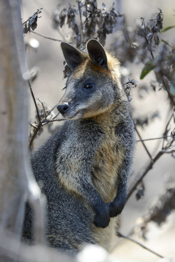 It was taken at You Yangs Regional Park in Victoria, Australia. Black Wallaby Animal Wildlife Animals In The Wild Day Mammal Nature One Animal Outdoors Swamp Wallaby Wallaby