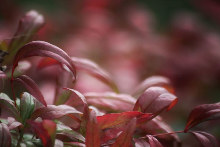Plant Pink Color Beauty In Nature Nature Flower Magenta Selective Focus Focus On Foreground Beauty In Nature Leaves🌿 Otoño Autumn Trees Tranquility Otoño 🍁