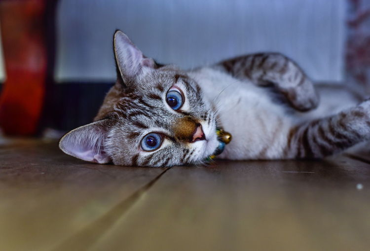 Close-up portrait of a cat lying on floor