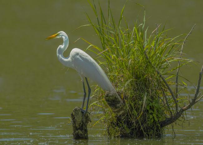 Egret On Stump Great Egret