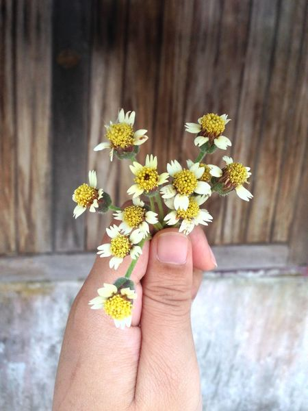 Beauty In Nature Body Part Close-up Day Finger Flower Flower Head Flowering Plant Focus On Foreground Fragility Freshness Hand Holding Human Body Part Human Hand Human Limb One Person Outdoors Personal Perspective Plant Pollen Real People Vulnerability  Yellow