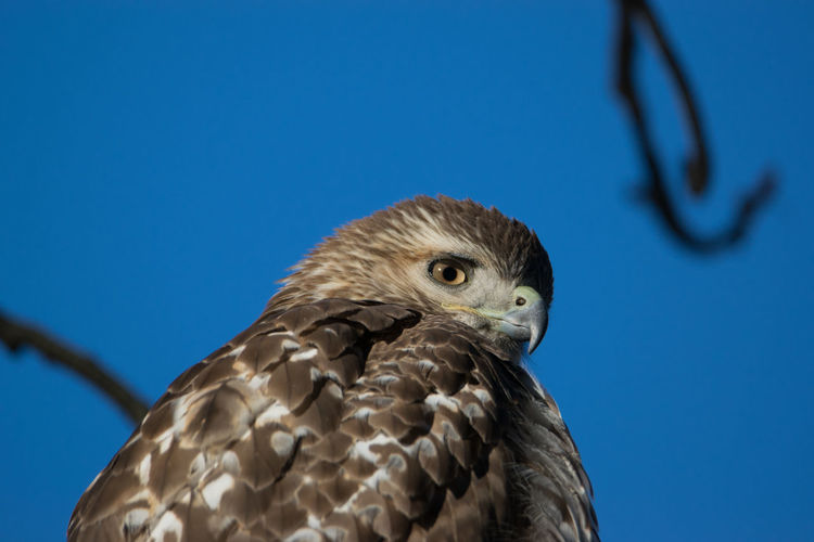 One of the red-tailed hawks of green-wood cemetery, brooklyn