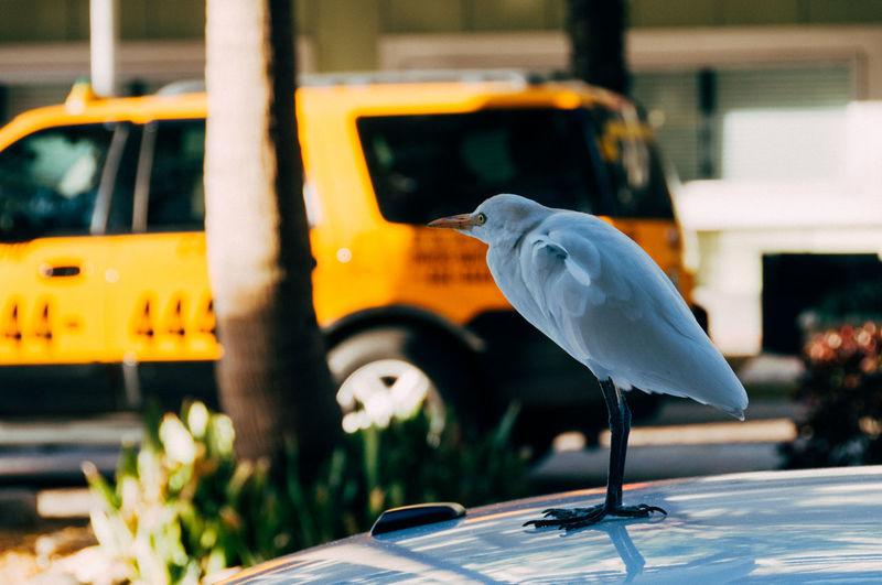 Heron on car hood