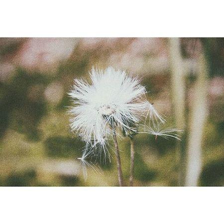 Tuổi thanh xuân như những đóa hoa bồ công anh vậy, chờ gió đến mang hoa đi, tự do vùng vẫy đến những chân trời mới... __________________________________ Dandelion Myfavoriteflower Flower Marcro Optimistic Vscocam Moment