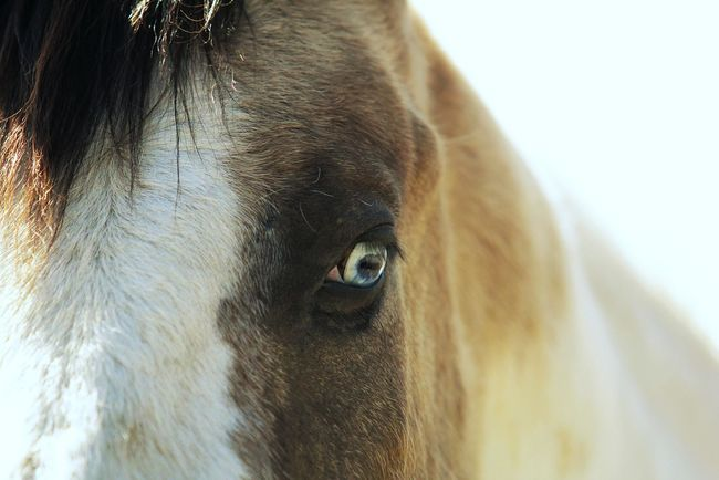 In the eye of a horse you'll find the heart of a woman. ❤ One Animal Animal Head  Close-up No People Happiness Colorado Farmlife Country Living Cowboy Horse Wild West Outdoors Horse Love Horselovers Mammal Horselove Horselife