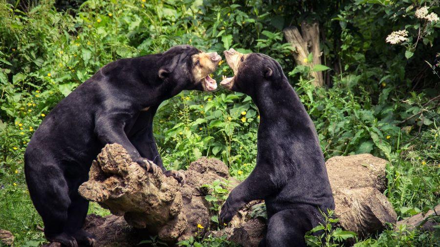 Playful malayan sun bears at edinburgh zoo