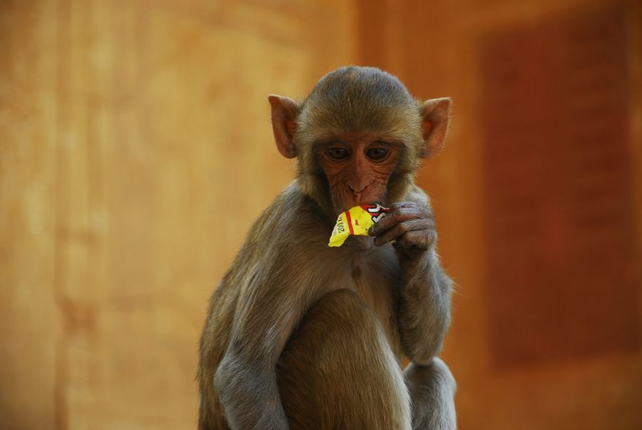 A bar so good a monkey would devour it! Ape Baby Bar Close-up Cute Day Eating Focus On Foreground Funny Junk Food Macaque Mammal Monkey Outdoors Portrait Primate Selective Focus Silly Snack Snack Time! Young