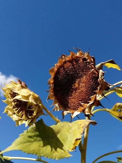Sunflower Sunflowers🌻 Blue Leaf Sky Close-up Plant Flower Head Blooming In Bloom