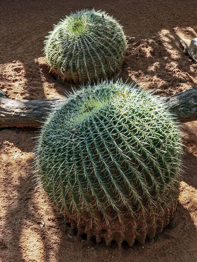 Barrel Cactus Arid Climate Barrel Cactus Beauty In Nature Cactus Climate Close-up Communication Day Field Green Color Growth High Angle View Land Natural Pattern Nature No People Outdoors Plant Sharp Sign Spiked Spiky Succulent Plant Thorn