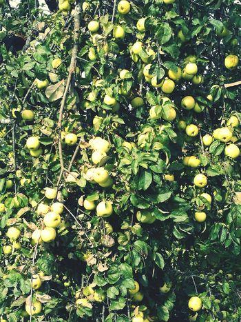 Green Color Nature Plant Green Outdoors Beauty In Nature Autumn Nature Autumn Colors Latvia Harvest Time осень времяурожая урожай хорошовдеревне яблоки Apples Appletree латвия ялюблюлатвию Ilovelatvia Latvija