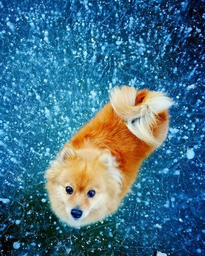 Dog Animal Themes EyeEmNewHere Spitz-dog Volpino Volpino Italiano Volpinodipomerania Amorevero Lizzie Dogs Dog❤ Dog Photography Love <3