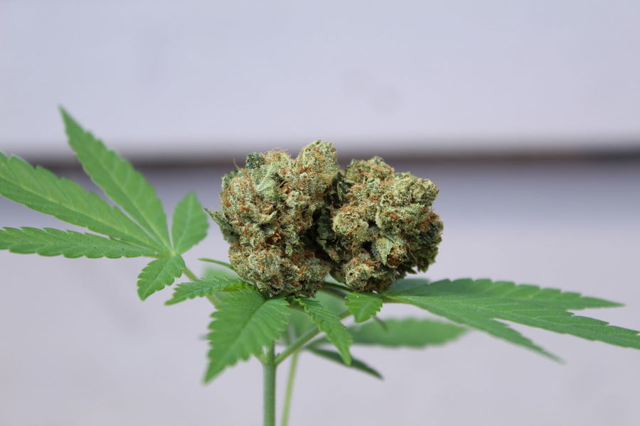 EyeEm Selects Social Issues Leaf Marijuana - Herbal Cannabis Plant Cannabis Plant Herbal Medicine Close-up Healthcare And Medicine No People Nature Beauty Medical Cannabis Flower Outdoors Day Cannabis Marijuana Marijuana Photography Medical Medicine Medical Marijuana Cannabis Culture Weed Life WeedPorn