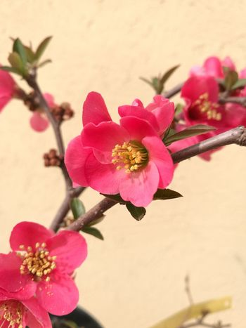 Flower Nature Flower Head Beauty In Nature Petal Pink Color Plant Freshness Chaenomeles Pink Millennial Pink Chaenomeles Japonica Springtime Freshness Blossom