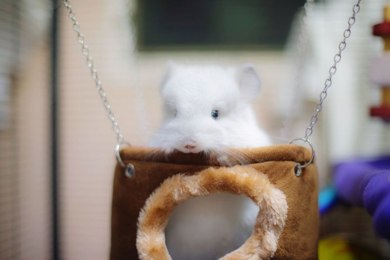 Give me a ride Chinchilla Cute Cute Pets Swing Animal Animal Themes Mammal One Animal Focus On Foreground Pets Vertebrate